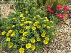 Full size picture of Gold Coin, Mediterranean Beach Daisy 'Compact Gold Coin' (<i>Asteriscus maritimus</i>)