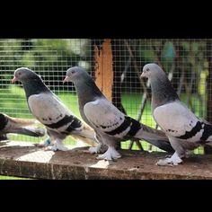 noktalı bozlar @pigeonturkey #ALLAH #pigeon #good #love #forever #güvercin #güvercinler #kuş #uçankuşlar #taklacı #oyunkuşu #musul #ırak #batman #diyarbakır #amed #mardin #sun #freedom #like #kurdish #instagood #photooftheday #beautiful #happy #follow #followme #beautiful #fashion