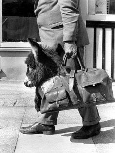 Fresh Pics: Classic Humorous Photos from Life Magazine Mini Burro, Farm Animals, Animals And Pets, Funny Animals, Cute Animals, Animals Planet, Life Magazine, Black And White Pictures, Black White