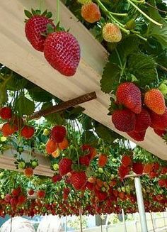Kaila's Place | Rain Gutter Strawberries... How do you make them come down?