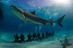 Strangest class picture of all time? Nope, just a little tourism. A 12-foot-long female tiger shark shows off her size above a row of SCUBA divers at Tiger Beach in the Bahamas, a popular ecotourism spot. There have been worries that these eco-tourist spots disrupt sharks' natural wanderings by making them overly dependent on the chum that tour guides throw out to attract the giant, predatory fish. But new research suggests that's not the case. In fact, responsible eco-tourism may benefit…
