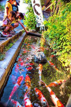 70 best koi images koi ponds beautiful fish carp for Koi fish in pool