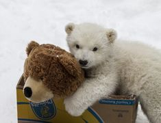 On March 12, an Inuit hunter shot and killed a female Polar Bear near Point Lay, Alaska. When he realized it was a female, he searched for the den and found young Kali, a 3 - 4 month cub. The hunter then carried the cub to the Department of Wildlife Management who then passed the healthy 18.4lb cub to the Alaska Zoo who was equipped to care for the orphan.