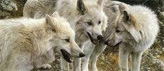 Carl Brenders : Tundra Summit - Artic Wolves.