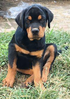 Rottweiler puppy #3monthsold Rottweiler Puppies, Labrador Retriever, Dogs, Animals, Labrador Retrievers, Animais, Animales, Animaux, Chocolate Labradors