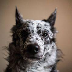 Anouk the Hungarian mudi #mudi #dog www.instagram.com/fellowfordogs