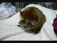 Slow Loris SO CUTE!!! God made the cutest creatures and in heaven I will get to pet them all.