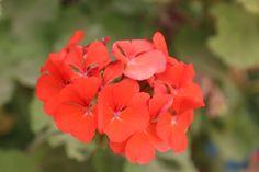 red flower beuty