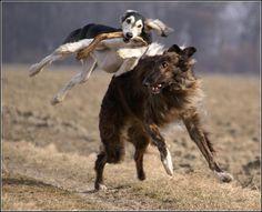 sight hounds in flight