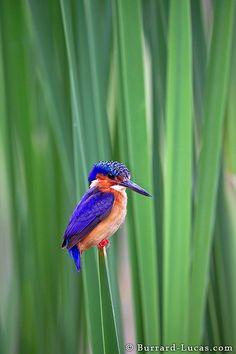 Madagascar Malachite Kingfisher (by Burrard-Lucas Wildlife Photography) Kinds Of Birds, All Birds, Little Birds, Pretty Birds, Beautiful Birds, Animals Beautiful, Exotic Birds, Colorful Birds, Colorful Animals