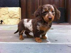 Brown mini dapple dachshund