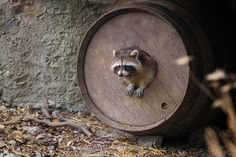 raccoon by Martin Frehe on 500px