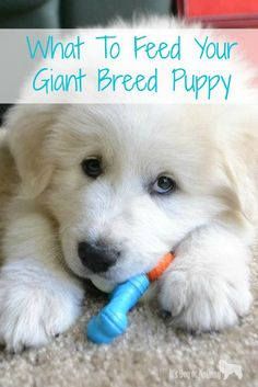 Dog Grooming Funny Determining what to feed your giant breed puppy can be challenging.Dog Grooming Funny Determining what to feed your giant breed puppy can be challenging. Dog Training Bells, Best Dog Training, Training Tips, Dog Nutrition, Animal Nutrition, Pyrenees Puppies, Dogs And Puppies, Puppy Care, Dog Care