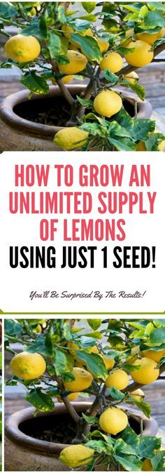 HOW TO GROW AN UNLIMITED SUPPLY OF LEMONS USING JUST 1 SEED! Need to know!!! !!!