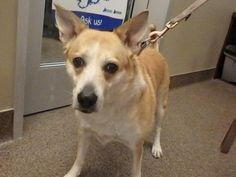Melody (89905) | Edmonton Humane Society. Melody is a Sweet Senior at 8 years 7 months of age looking for a most Loving & Forever home. She is a spayed Corgi/Lab mix girl
