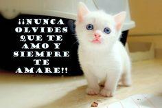 Gatos+Blancos+Con+Frases+De+Amor+Para+Dedicar+En+Imagen