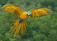 Сине-желтый ара (лат. Ara ararauna, анг. Blue-and-Yellow Macaw) / Ara.ru