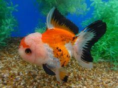 Goldfish Auction