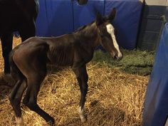 CHROMED PHAROAH is born 1-3-2017 colt by (American Pharoah/Kakadu) BIG Blaze and 4 stocking feet..hmmmmmm photo taken by Kyle Johnson/Brookdale Farm