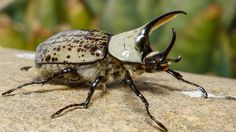 Western Hercules beetle from Arizona, USA (credit: Marlin Harms Rhino Beetle, Beetle Insect, Volkswagen Bus, Vw Camper, Vans Vw, Emo, Architecture Tattoo, Wedding Tattoos, Bugs And Insects