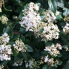 Buy laurustinus Viburnum tinus French White - Handsome large white flower: 2 litre pot: Delivery by Crocus Evergreen Shrubs, Flowering Shrubs, Trees And Shrubs, Evergreen Flowers, Best Shrubs For Shade, Full Shade Plants, Clematis Cirrhosa, Fast Growing Shrubs, Woodland Plants