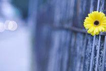 wallpaper flower japan
