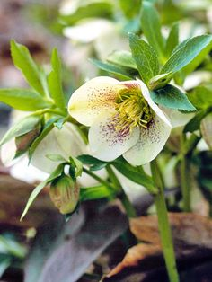 Hellebore -- BHG's Plant Encyclopedia / Bring color to the shaded spot in your garden by using the pink ones