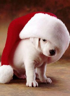"""Puppy in Santa Hat. """"I think it's a little too big""""."""
