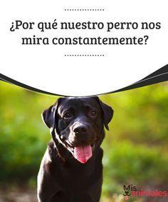 ¿Por qué nuestro perro nos mira constantemente?  ¿Alguna vez te ha pasado que de repente tu perro se te queda mirando permanentemente? #perro #mirar #curiosidad #constante