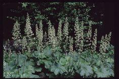 Heuchera maxima - Island Coral Bells