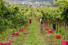 Vendimia en Pazo de Rubianes (Vilagarcía de Arousa, Pontevedra) - Ruta do Viño Rías Baixas