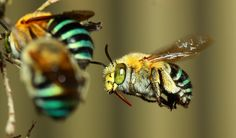 Blue-banded bee.  These pretty native bees are important pollinators for Australian crops.