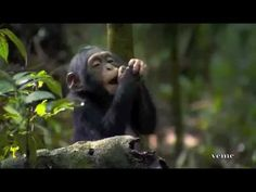 Disney Nature -Chimpanzee Earth Day 2012  Music. The Sound of Sunshine  by Michael Franti     Edited by Jose Loja.  Brought to you in part by: Disney  Nature BBC      Earth Una producción de © veme  2010 - 2012