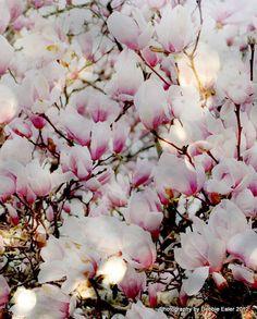 (•ॢ◡-ॢ)                                                                   ✯Another tulip magnolia print