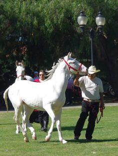 Camarillo White Horses