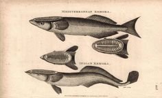 Mediterranean & Indian Remora Fish 1809 Engraving Print by Shaw & Griffith