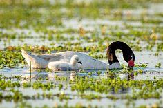 El macho y la hembra de cisne de cuello negro son casi iguales, siendo el macho un poco más grande / Foto: Cláudio Dias Timm