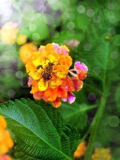 Bee flower, verbena orange