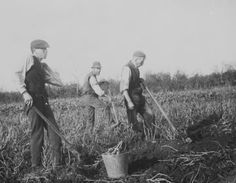 Potato digging in Galway ca. 1900. At the time, agriculture was the mainstay of the local economy #Irish #history