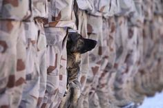 Military Dog. God Bless them each and every one.                                                                                                                                                      More