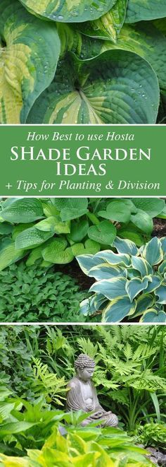 Shade Gardening: How to Use Hostas to Best Advantage
