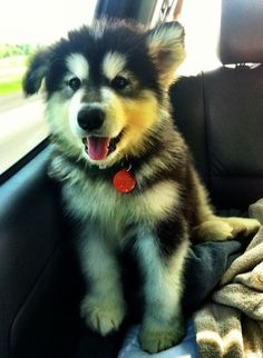 Alaskan malamute puppy on a car seat