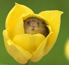 Tiptoeing through the tulips! Photographer captures moment harvest mice play among the flowers | Daily Mail Online