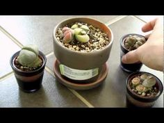 How to care for your Lithops - Living Stone Cactus - Youtube.  We just bought 3 of these little guys, and this is a great video - they are not the easiest to know when to water, and can be easily killed by overwatering.