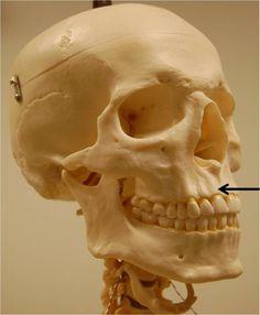 sphenoid bone - bat-like, butterfly-like, keystone bone in the, Human Body