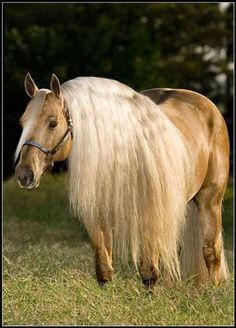 Palomino Quarter horse stallion named Reminic N Dunit - from Buckaroo Ranch