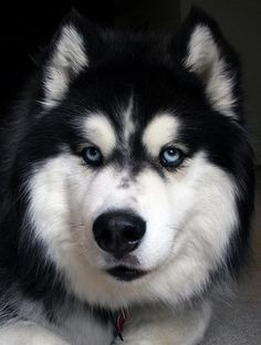 Husky... those piercing blue eyes that SEE everything!