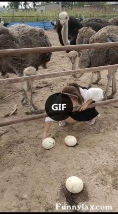 Giant egg of ostrich - animals & pets,friendly animals,ostrich eggs,cute girls Jokes Videos, Best Funny Videos, Funny Videos For Kids, Funny Animal Videos, Funny Animals, Animal Pics, Funny Fails, Funny Jokes, Ostrich Funny