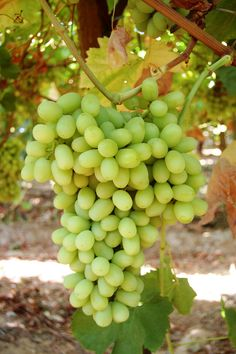 Thompson seedless table grapes NOTE: Best leaves for dolma, aka Sultana Grape Plant, Burfi Recipe, Easy Plants To Grow, Fruit Photography, Beautiful Fruits, Growing Grapes, Grow Organic, Fruit Trees, Fruits And Vegetables