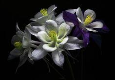 Columbine Flowers Photograph (Partial Shade)
